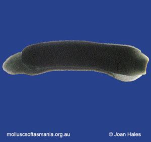Runcina australis
