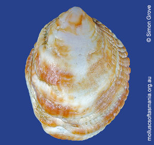 Sabia australis