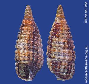 Sagenotriphora ampulla