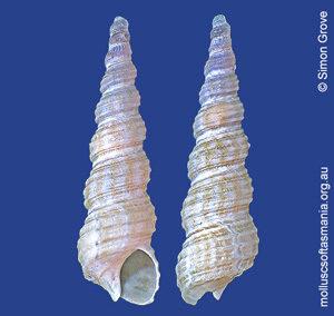 Seilarex turritelliformis