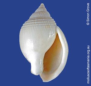 Semicassis semigranosa