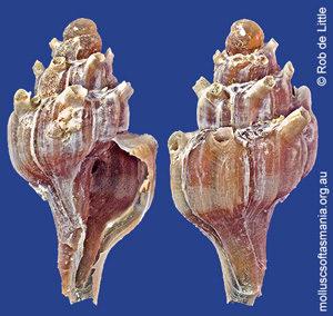 Siphonochelus syringianus