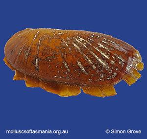 Solemya australis