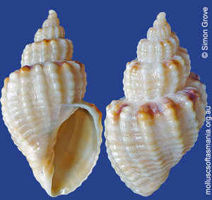 Sydaphera granosa