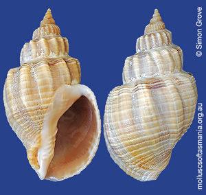 Sydaphera undulata
