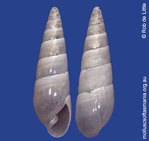 Syrnola angusta