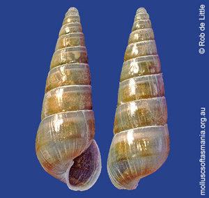 Syrnola aurantiaca