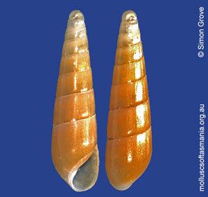 Syrnola tincta