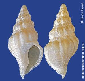 Tasmeuthria kingicola