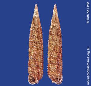 Teretriphora spica