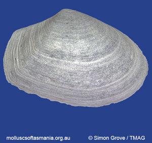 Thracia myodoroides