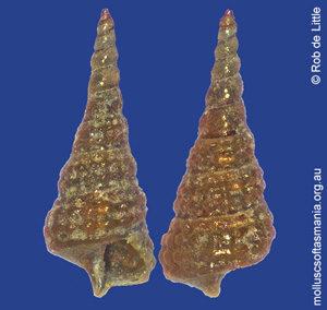 Tubercliopsis septapilia