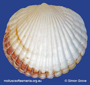 Tucetona flabellata
