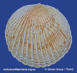 Tucetona gealei