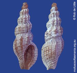 Turrella granulosissima
