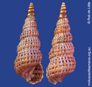 Zaclys semilaevis