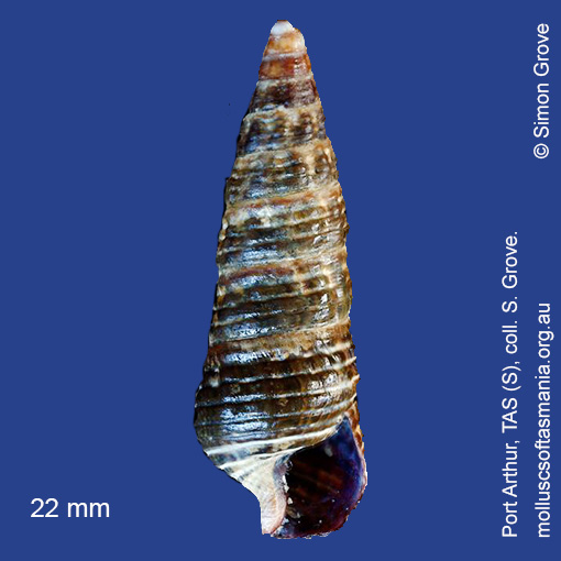 Zeacumantus diemenensis