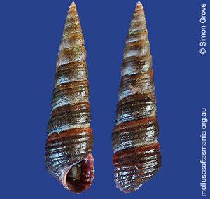 Zeacumantus plumbeus