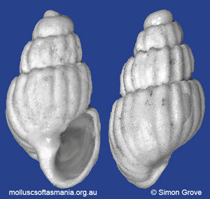 Odostomia crassicostata