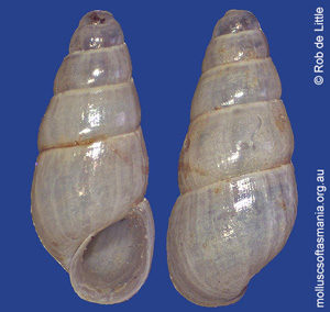 Onoba rubicunda