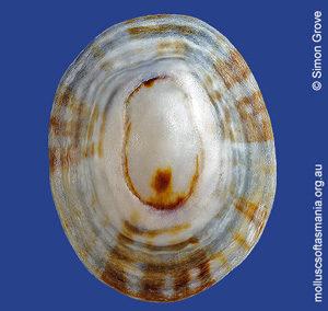Patelloida insignis
