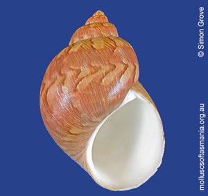 Phasianella ventricosa