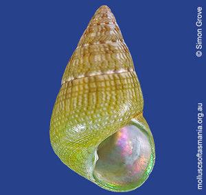 Phasianotrochus irisodontes