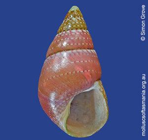 Phasianotrochus rutilus