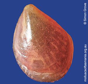 Philobrya rubra