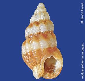 Phrontis compacta