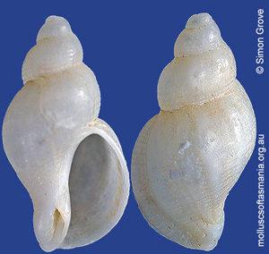 Phyllocoma eburnea