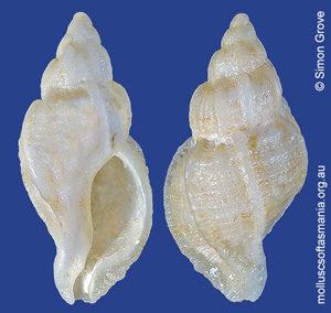 Phyllocoma speciosa