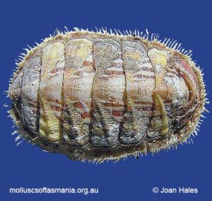 Plaxiphora matthewsi