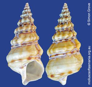 Plesiotrochus monachus
