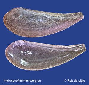 Poroleda spathula