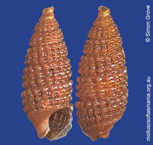 Prolixodens cessicus