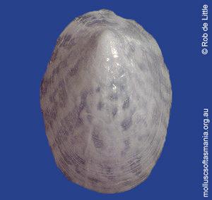 Propilidium tasmanicum