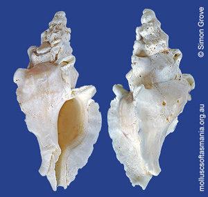 Prototyphis angasi