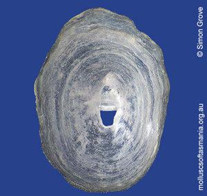 Puncturella harrisoni