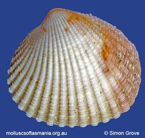 Purpurocardia amabilis