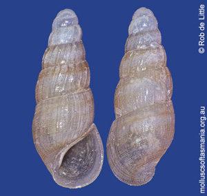 Rissoina gertrudis