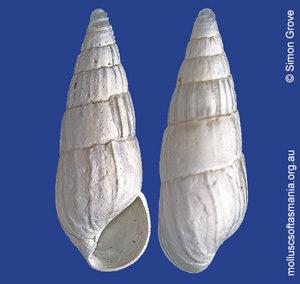Rissoina cretacea
