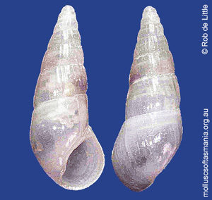 Rissoina rhyllensis
