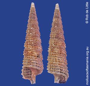 Monophorus nigrofuscus
