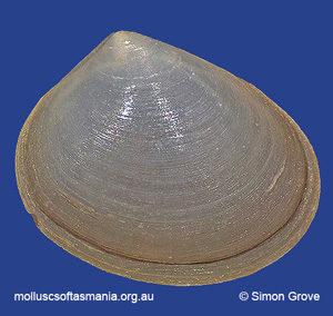 Mysella donaciformis