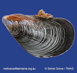 Mytilus planulatus