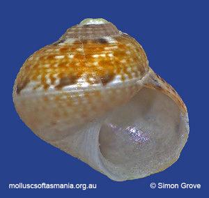 Nanula tasmanica