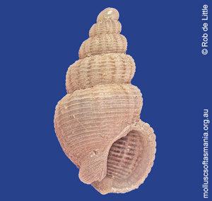 Nassarius mobilis