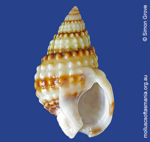 Nassarius nigellus