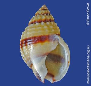 Nassarius pauperatus